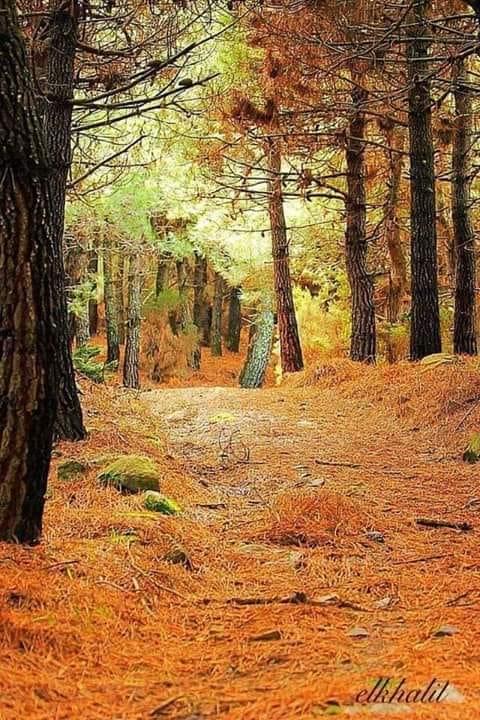 لصورة لغابة الصنوبر ببوهاشم في فصل الخريف